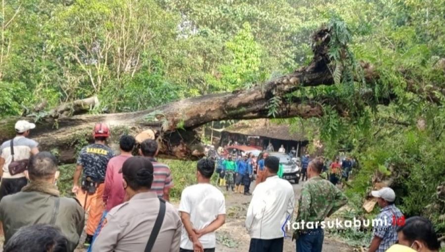 Pohon Ukuran Raksasa di Ruas Jalan Sukabumi Palabuhanratu Tumbang